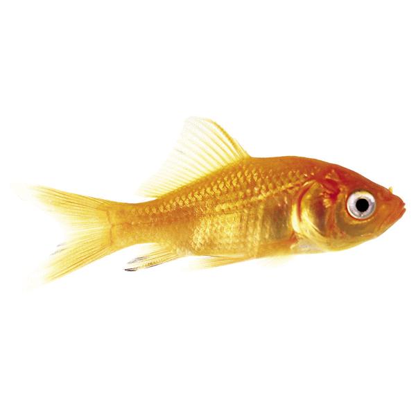 comet goldfish small meijer com